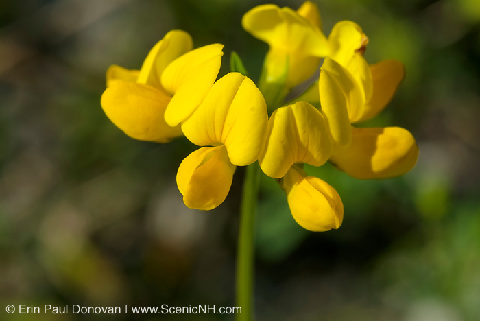 Birdsfoot Trefoil-Lotus corniculatus-during the summer months in the state of  New Hampshire  USA. .Notes: This plant is used for erosion control