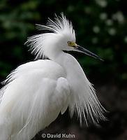 0205-08uu  Snowy Egret, Egretta thula © David Kuhn/Dwight Kuhn Photography