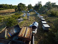 Summer harvest in the southern Ardèche. The honey chambers - the part of the hive where the bees stock the surplus honey – are taken out by the beekeepers who can in that way harvest the mono-floral honey several times during the season.<br /> Récolte d' été dans le sud de l'Ardèche. Les hausses - la partie de la ruche ou est stocké le surplus de miel par les abeilles – sont retirées par les apiculteurs qui peuvent ainsi faire plusieurs récoltes de miel mono-floraux dans la saison.
