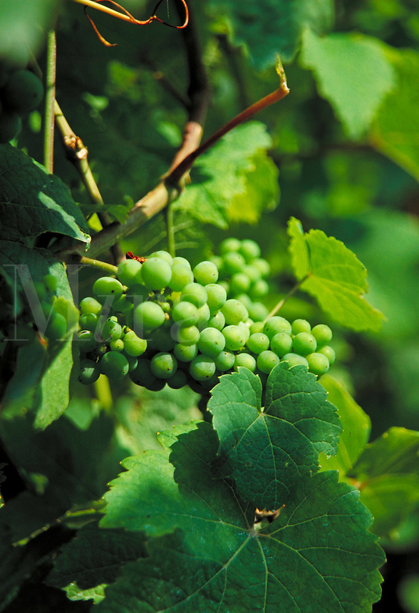 The vineyards in Baden Baden, Germany; close up of grapes growing on the vine, agriculture, food, fruits. Baden Baden Germany.