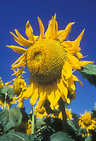 Helianthus annus 'Mammoth' annual sunflower against blue sky