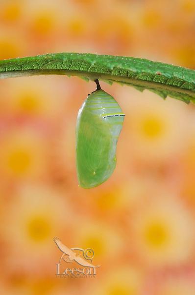 MONARCH BUTTERFLY life cycle..Chrysalis on Joe-Pye leaf. .North America. (Danaus plexippus).