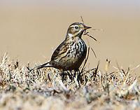 American pipit in non-breeding plumage