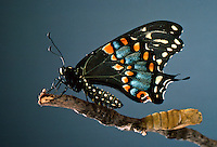 Tiger swallowtail just emerged from chrysalis letting wings dry, Missouri USA: A series