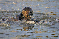 Sea Otters (Enhydra lutris) playing.