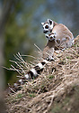 """16/05/16<br /> <br /> """"Can I have a cuddle please""""<br /> <br /> Three baby ring-tail lemurs began climbing lessons for the first time today. The four-week-old babies, born days apart from one another, were reluctant to leave their mothers' backs to start with but after encouragement from their doting parents they were soon scaling rocks and trees in their enclosure. One of the youngsters even swung from a branch one-handed, at Peak Wildlife Park in the Staffordshire Peak District. The lesson was brief and the adorable babies soon returned to their mums for snacks and cuddles in the sunshine.<br /> All Rights Reserved F Stop Press Ltd +44 (0)1335 418365"""