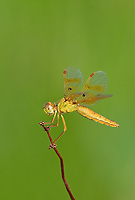 304570012v a wild female mexican amberwing dragonfly perithemis intensa perches on a small plant stem on pintail slough in havasu national wildlife refuge mojave county arizona united states