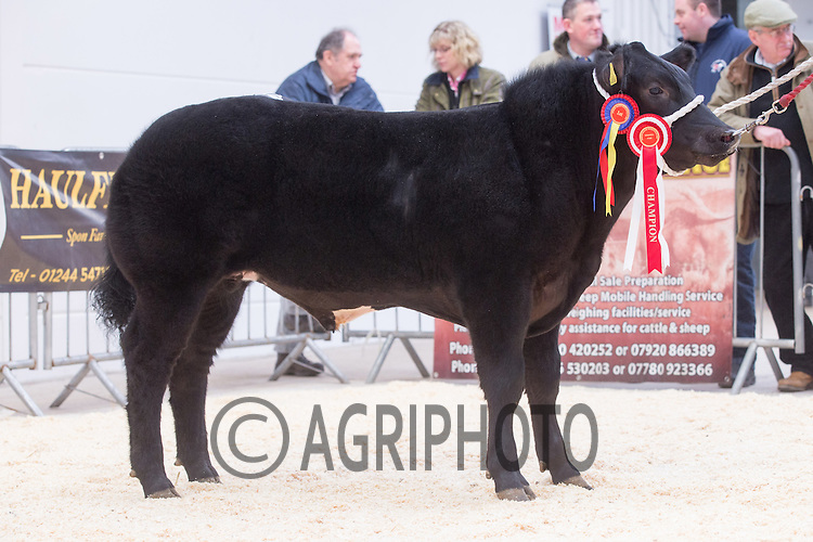North Wales Show Potential sale at Ruthin Farmers auction Company,Ruthin,North Wales <br /> Lot 8 Champion steer owned by J M & A M Lewis sold for £4000.00 <br /> Picture Tim Scrivener 07850 303986<br /> ….covering agriculture in the UK….