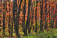 Sugar Maple trees with autumn foliage, Algonquin Provincial Park, northern Ontario, Canada.