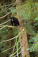 Black Bear (Ursus americanus) resting in sitka spruce tree.  Pacific Northwest coastal area.  Summer.  Black bears frequently rest in trees as it is a relatively safe and protected location.