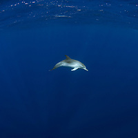 Atlantic Spotted Dolphins, Stenella frontalis, Azores, Northern Atlantic Ocean