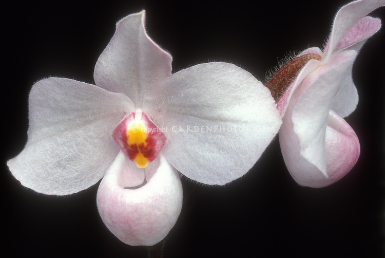 Paphiopedilum delenatii, orchid species, tropical slipper orchid, two pink flowers