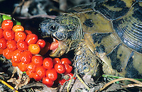 Griechische Landschildkröte, frisst die Früchte vom Italinischen Aronstab, Schildkröte, Testudo hermanni, Hermann's tortoise, Greek tortoise