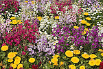 ANNUAL BED, COMMON STOCK, MIX, MATTHIOLA INCANA, POT MARIGOLDS, CALENDULA OFFICINALIS
