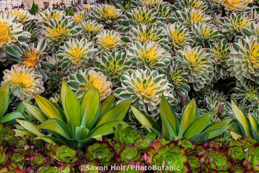 Aeonium 'Sunburst', with Agave attenuata 'Kara's Stripes', variegated foliage succulents at Succulent Gardens, Castroville, California