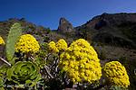 Bejeque ((aeonium gomerense), fleur endémique de Goméra dans le barranco de Benchijigua dominé par le roque de Agando. Bejeque (aeonium gomerense) yellow flower endemic to Gomera  in the barranco of  Benchijigua.
