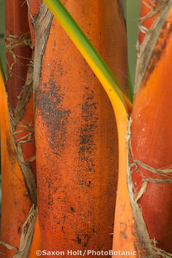 Trunk of The Orange Crownshaft Palm Tree,  Areca vestiaria