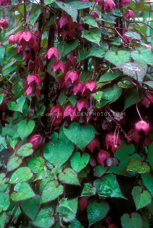 Rhodochiton atrosanguineus Purple Bell Vine