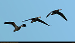 Snow Goose, Blue Morph, Dawn Flight Study, Bosque del Apache Wildlife Refuge, New Mexico