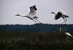 Whooping cranes in flight, with radio transmitter on juvenile in Aransas National Wildlife Refuge, Texas