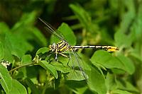 334120003 a wild male sulphur-tipped clubtail gomphus militaris perches on a plant leaf in southeast metropolitan park in austin travis county texas