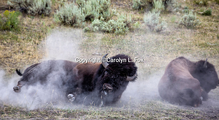 A big bison bull rolls in the dust in Yellowstone.