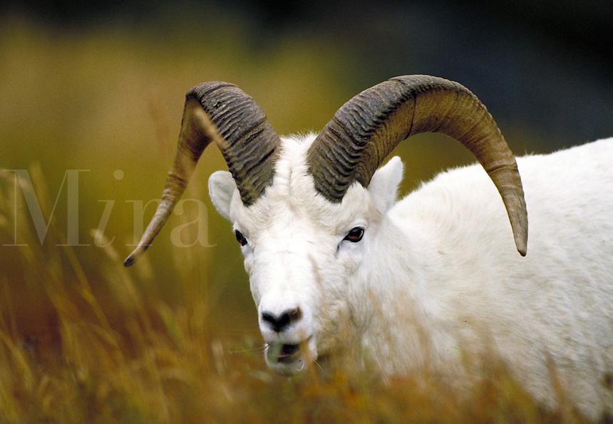 Dall sheep ram, head shot. Alaska USA Denali National Park.