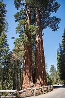 Mehrere tausend Jahre alte Mammutbaeume im Kalifornischen Sequoia National Park.<br /> 6.6.2017, Sequoia National Park<br /> Copyright: Christian-Ditsch.de<br /> [Inhaltsveraendernde Manipulation des Fotos nur nach ausdruecklicher Genehmigung des Fotografen. Vereinbarungen ueber Abtretung von Persoenlichkeitsrechten/Model Release der abgebildeten Person/Personen liegen nicht vor. NO MODEL RELEASE! Nur fuer Redaktionelle Zwecke. Don't publish without copyright Christian-Ditsch.de, Veroeffentlichung nur mit Fotografennennung, sowie gegen Honorar, MwSt. und Beleg. Konto: I N G - D i B a, IBAN DE58500105175400192269, BIC INGDDEFFXXX, Kontakt: post@christian-ditsch.de<br /> Bei der Bearbeitung der Dateiinformationen darf die Urheberkennzeichnung in den EXIF- und  IPTC-Daten nicht entfernt werden, diese sind in digitalen Medien nach §95c UrhG rechtlich geschuetzt. Der Urhebervermerk wird gemaess §13 UrhG verlangt.]