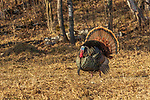 Tom turkey strutting in a field in northern Wisconsin.