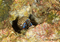 1205-0901  Aquatic, Underwater Hermit Crab Exiting Borrow, Dwarf Blue Leg Hermit Crab, Clibanarius tricolor  © David Kuhn/Dwight Kuhn Photography