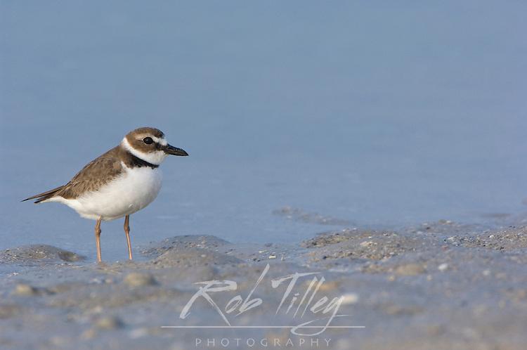 USA, FL, Ft. Myers Beach, Wilson's Plover (Charadrius wilsonia)