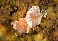 Two snow goddess nudibranchs and one small tom smith's nudibranch, at Pupukea Marine Reserve North Shore, O'ahu.