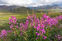 Thorofare pass, Denali National Park, Alaska.
