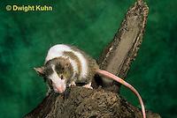 MU60-017z  Pet Mouse - exploring