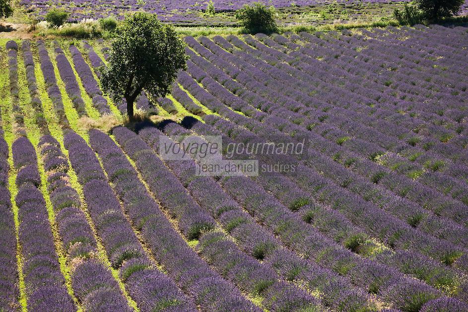 Europe/France/Provence-Alpes-Côte d'Azur/84/Vaucluse/ Env d'Aurel: Champ de Lavande du plateau de Sault