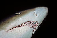 The toothy grin on the sand tiger shark, Carcharias taurus, has given the species an undeserved reputation of aggressiveness. Far from the truth they are one of the more passive species in the oceans. Australia.