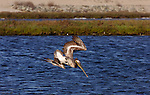 Brown Pelican Hunting Dive, Bolsa Chica Wildlife Refuge, Southern California