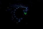 Green tip siphonophore, Plankton; larval fish; pelagic larval marine life, off SE Florida; Gulf Stream Current; Atlantic Ocean;