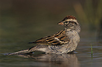 Chipping Sparrow, Spizella passerina, adult bathing, Willacy County, Rio Grande Valley, Texas, USA, March 2004