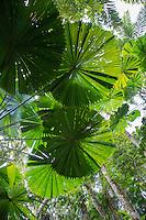 Fan Palms at Cape Tribulation