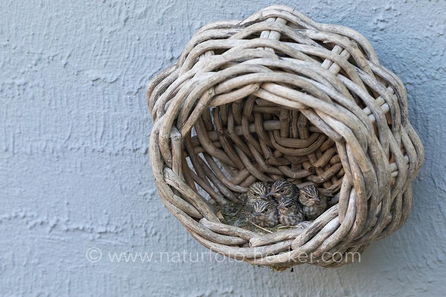 Grauschnäpper, Grau-Schnäpper brütet in einem alten Korb am Haus, Küken, Jungvögel, Nest, Muscicapa striata, Spotted Flycatcher, nest, chick, chicks, fledgling, fledglings, Le Gobemouche gris