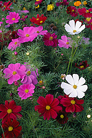 Flowers of ornamental Cosmos..