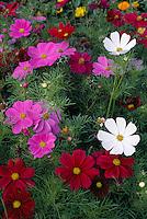 Flowers of ornamental Cosmos..