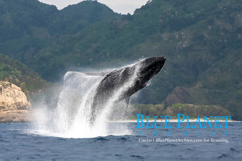 humpback whale, Megaptera novaeangliae, breaching, Chichi-jima, Bonin Islands, Ogasawara Islands, Natural World Heritage Site,  Tokyo, Japan, Pacific Ocean
