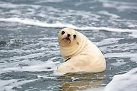 Antarctic fur seal, Arctocephalus gazella, aka Kerguelen fur seal, rare, leucistic pup playing in the surf, Fortuna Bay, South Georgia, Atlantic Ocean