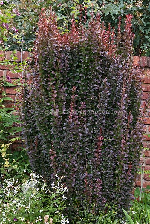 Berberis thunbergii var. atropurpurea Marshall's Upright barberry in garden against brick wall
