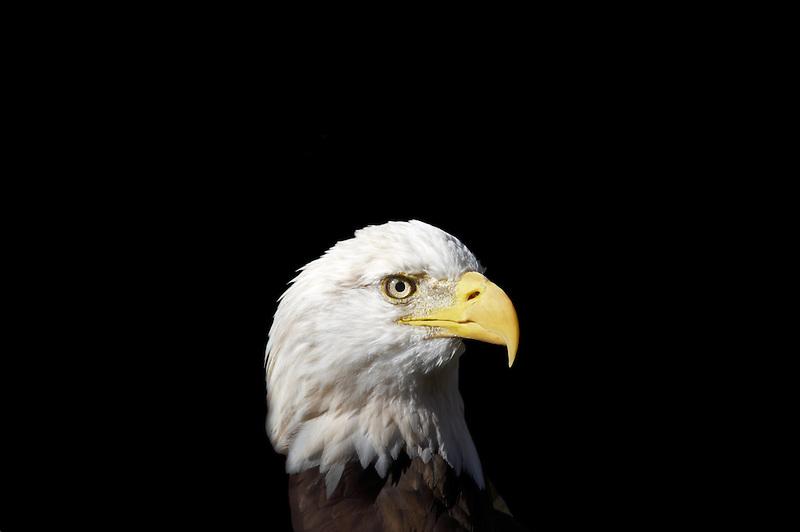 Bald Eagle. Oregon High Desert Museum. Central Oregon