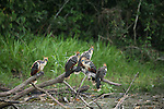 A group of Hoatzin birds sit on a collection of logs next to a marsh.