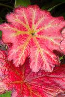 Darmera peltata in autumn fall foliage leaves color