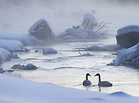 Trumpeter Swans endure a cold morning on the Madison River.